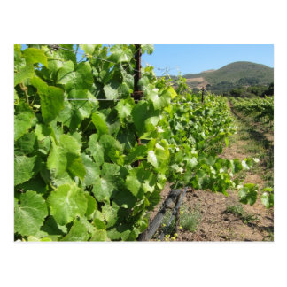 Vignoble en carte postale de Buellton la
