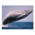 Violation de baleine de bosse carte postale