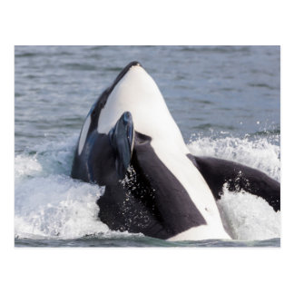 Violation de baleine d'orque carte postale