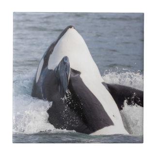 Violation de baleine d'orque petit carreau carré
