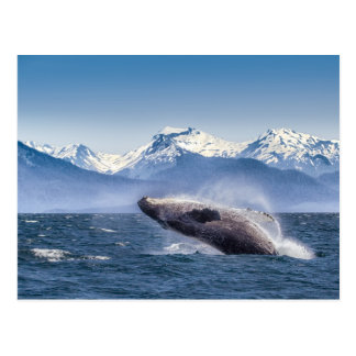 Violation de la baleine de bosse en Alaska Carte Postale