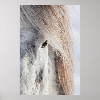 Visage islandais blanc de cheval, Islande Poster