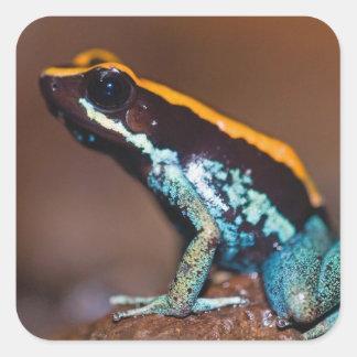 Vittatus de Phyllobates, une grenouille de flèche Sticker Carré