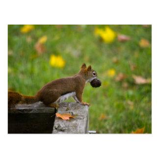 Voleur d'écureuil/squirrel thief cartes postales