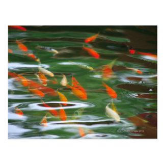 Vue courbe des poissons de merde de koi dans un carte postale