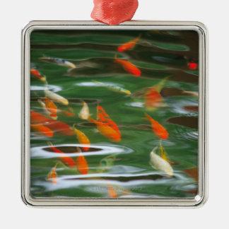 Vue courbe des poissons de merde de koi dans un ornement carré argenté