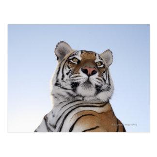 Vue d'angle faible d'un tigre (Panthera le Tigre) Carte Postale