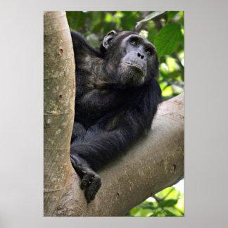 Vue de chimpanzé (troglodytes de casserole) dans affiche