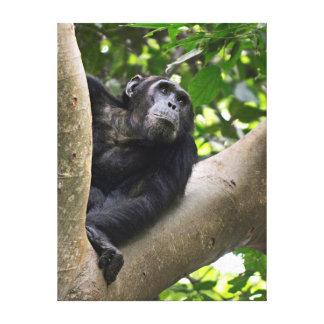 Vue de chimpanzé (troglodytes de casserole) dans toiles