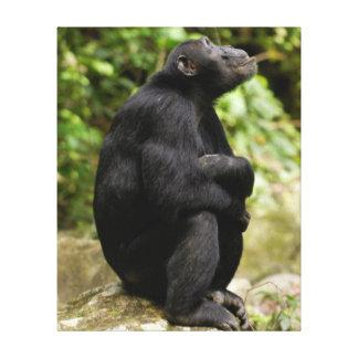 Vue de côté de chimpanzé (troglodytes de toiles