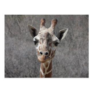 vue de face principale de girafe carte postale