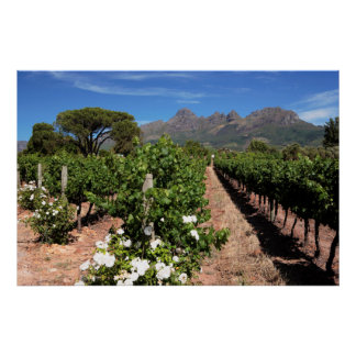 Vue des vignobles. Stellenbosch Affiches