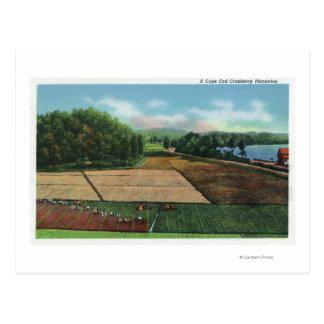 Vue d'une plantation de canneberge cartes postales