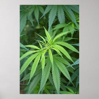 Vue en gros plan d'usine de marijuana, Malkerns Affiche
