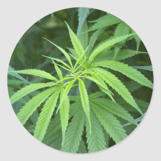 Vue en gros plan d'usine de marijuana, Malkerns Sticker Rond