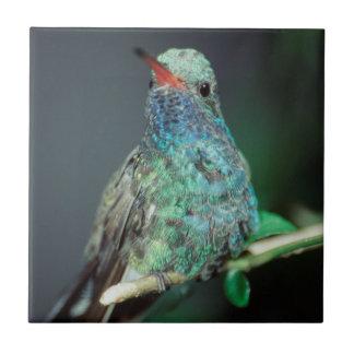 Westmorland, Westmorland Tobaso, colibri Carreau