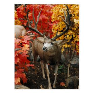 Whitetail en automne carte postale