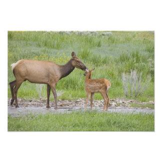 WY, parc national de Yellowstone, veau d'élans et Impressions Photo