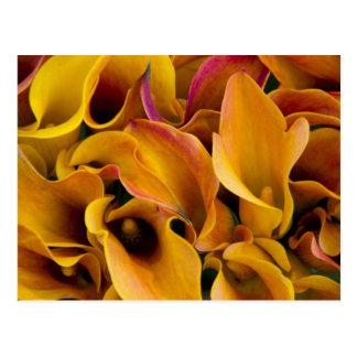 Zantedeschias colorés lumineux au cartes postales