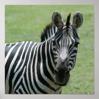 zebra10x10 poster