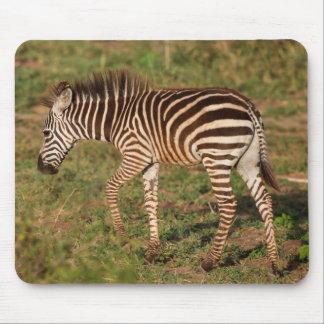 Zèbre de bébé marchant, Afrique du Sud Tapis De Souris