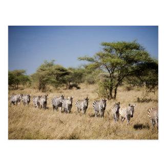 Zèbre de migration, Tanzanie Carte Postale