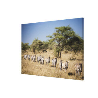 Zèbre de migration, Tanzanie Toiles