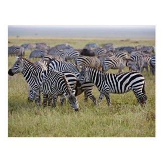 Zèbres de plaines sur la migration, quagga carte postale