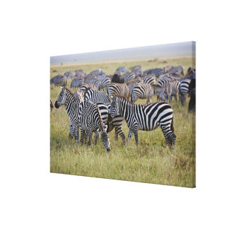 Zèbres de plaines sur la migration, quagga toiles