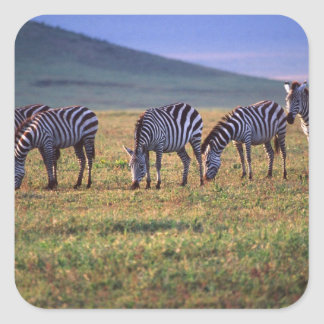 Zèbres sur les plaines de Serengetti au lever de Sticker Carré