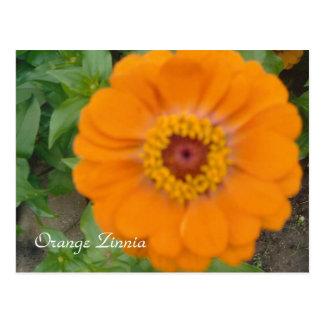 Zinnia orange carte postale